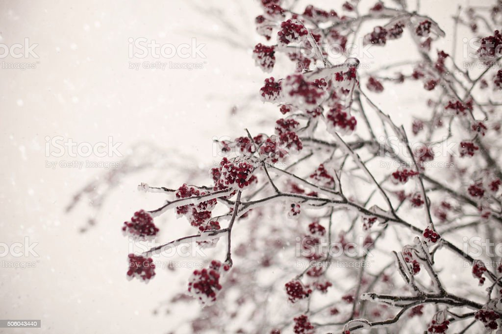 Rowanberry tree in the winter time stock photo