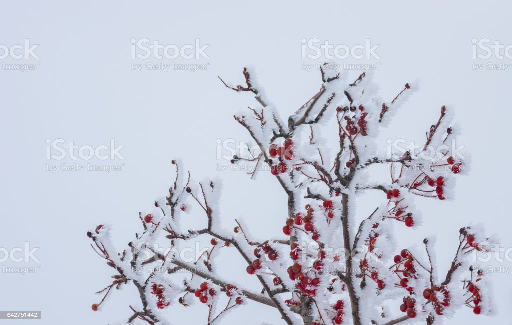 Rowan-tree with red berries under frost attack stock photo