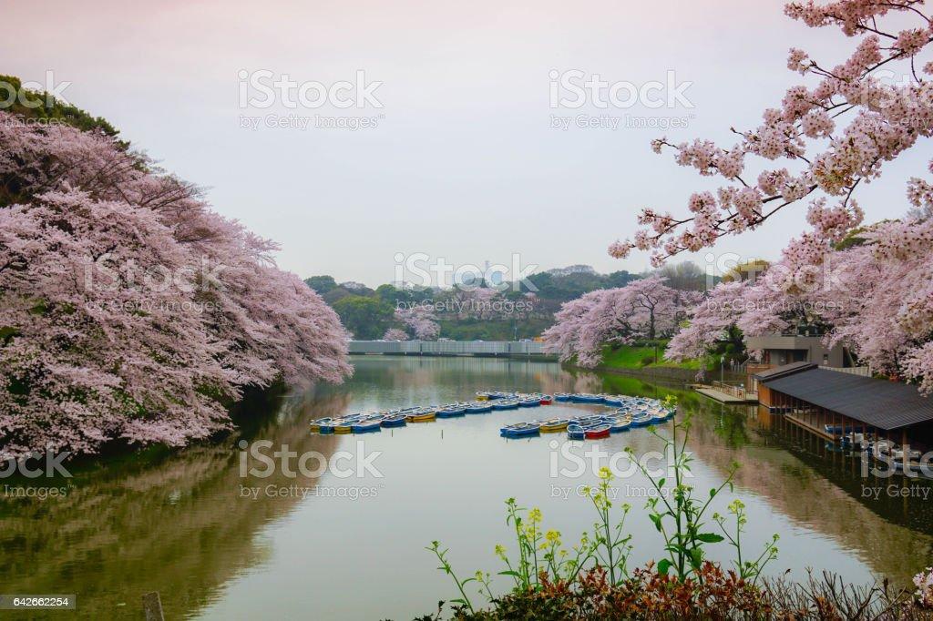 Rowboats and cherry blossoms with reflection in the lake, chidorigafuchi moat, Tokyo, Japan, Boats stock photo