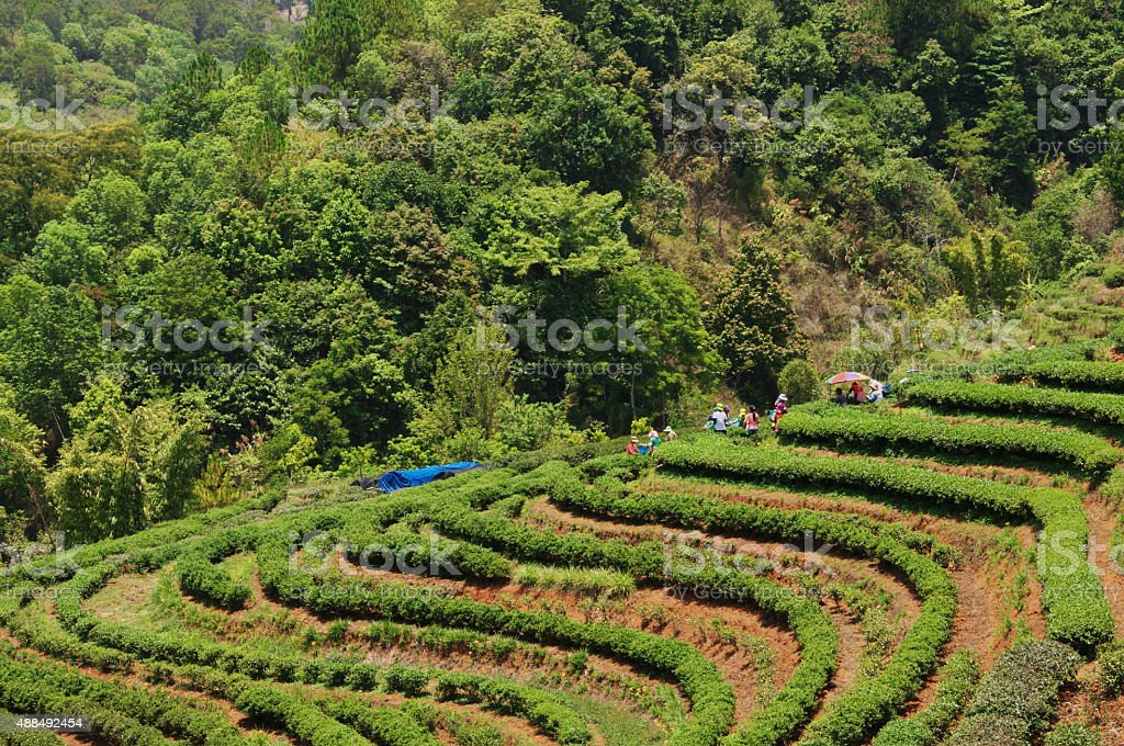 rowing tea field in the valley stock photo