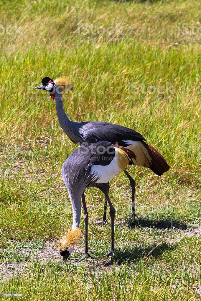 Сrowned crane. Two beatiful birds. Samburu, Kenya stock photo