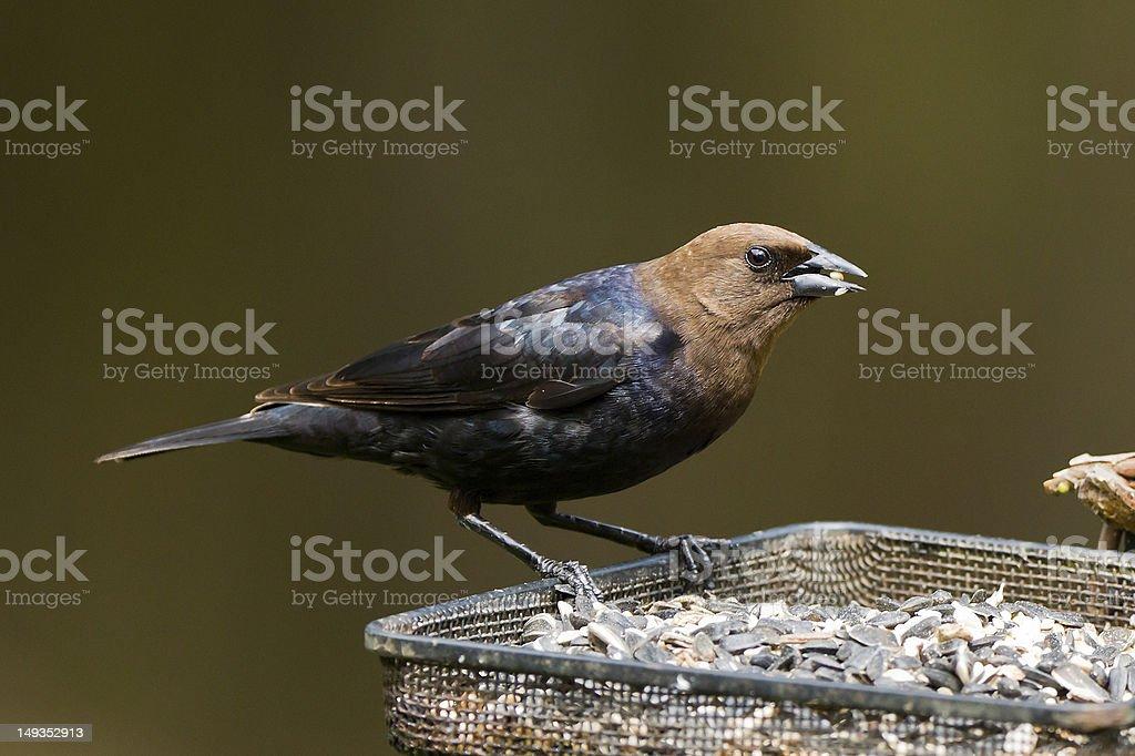 rown-headed Cowbird stock photo