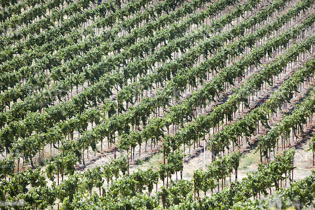 Rows of a Vineyard in Napa Valley royalty-free stock photo