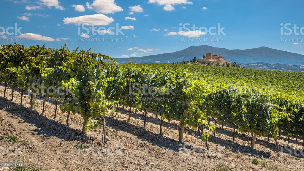Rows of a Vineyard in Tuscany Winery Estate stock photo