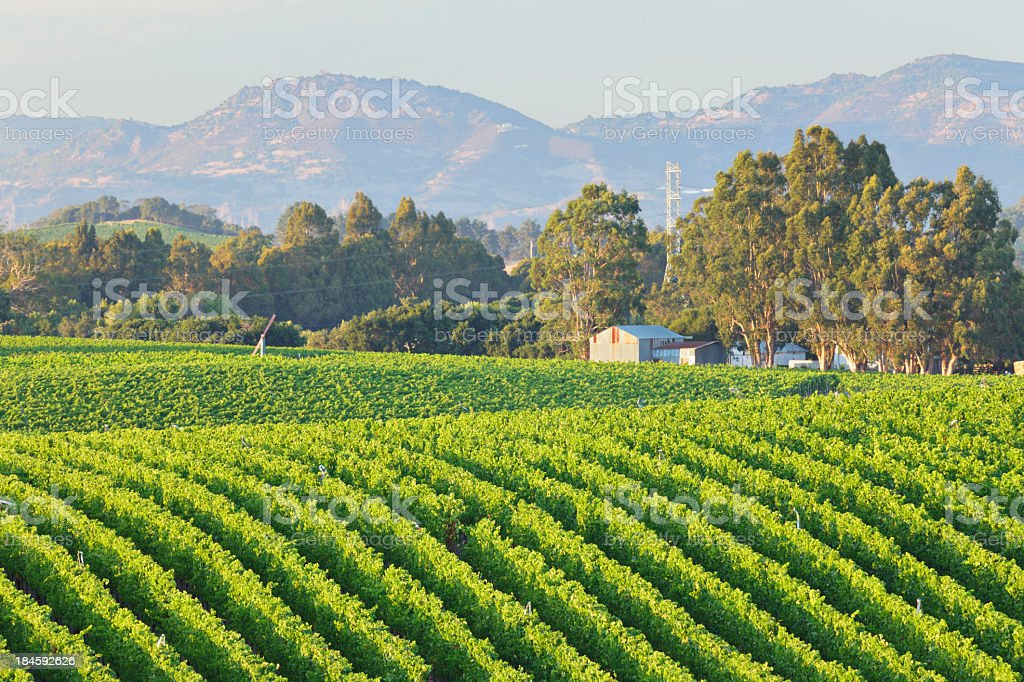 Rows of a vineyard landscape in bright green with trees stock photo