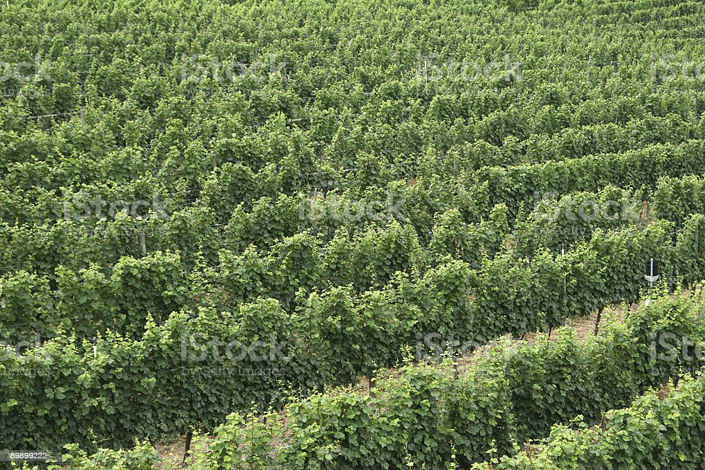 Rows of a Vineyard royalty-free stock photo
