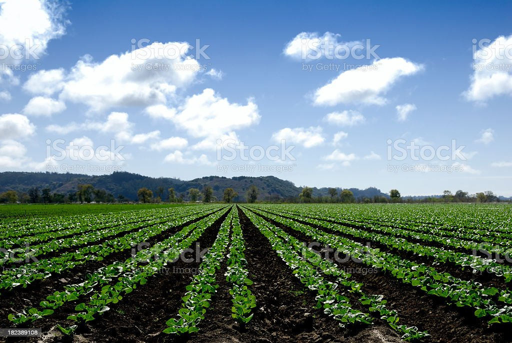 Rows of agricultural farming on huge field stock photo