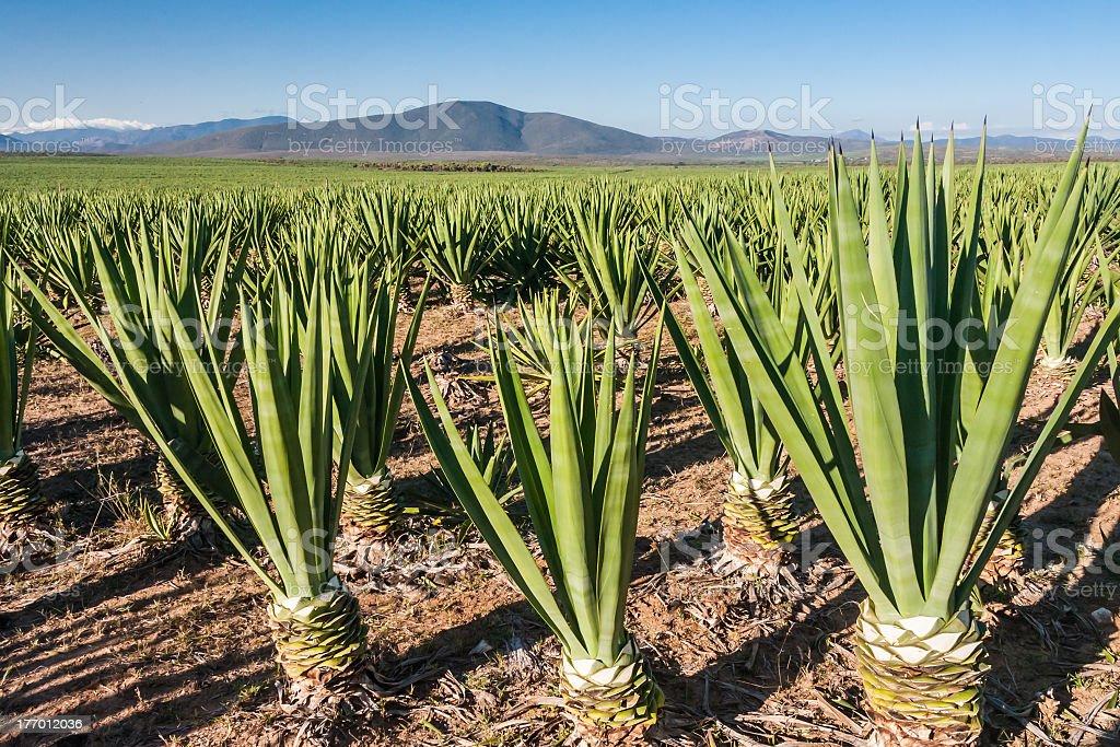Rows of aloe Vera plants with mountain silhouette stock photo