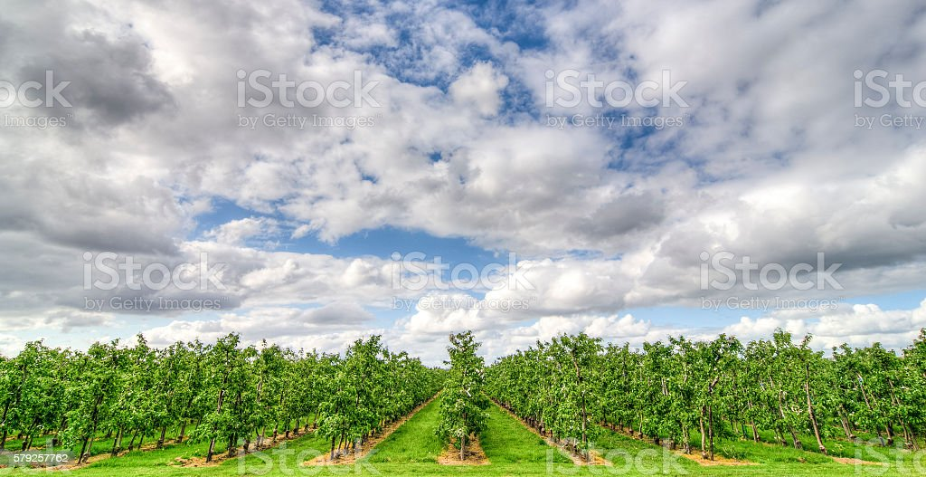 Rows of apple trees in an orchard stock photo