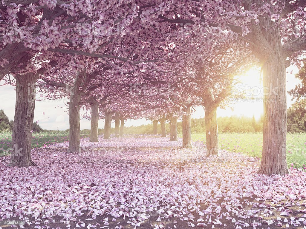 Rows of beautifully blossoming cherry trees stock photo
