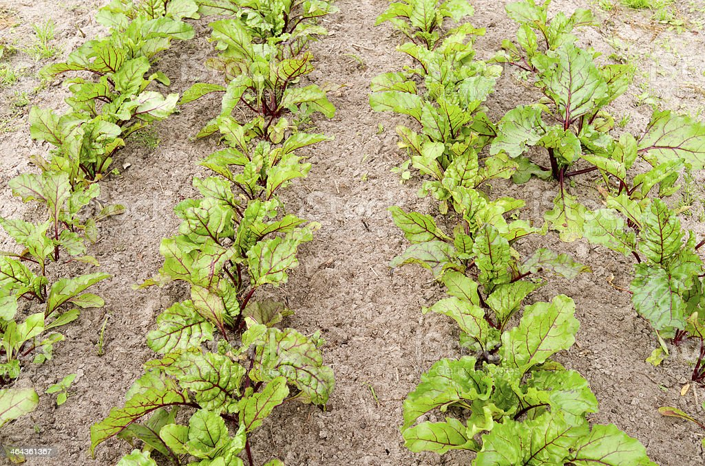 Rows of beets in the organic garden. royalty-free stock photo