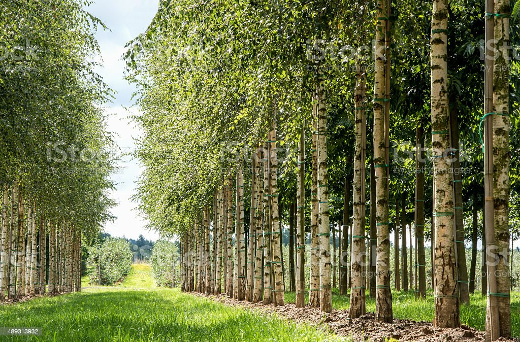 rows of birch trees in the morning sun stock photo