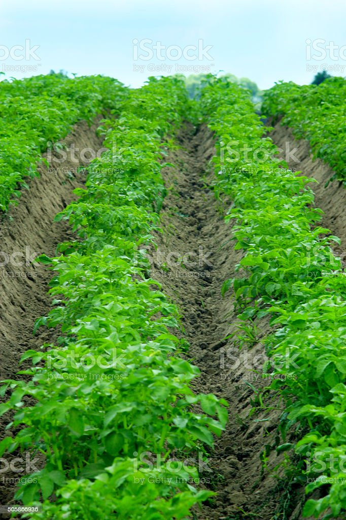 rows of bushes of growing potato stock photo