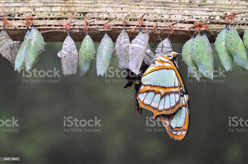 Rows of butterfly cocoons stock photo