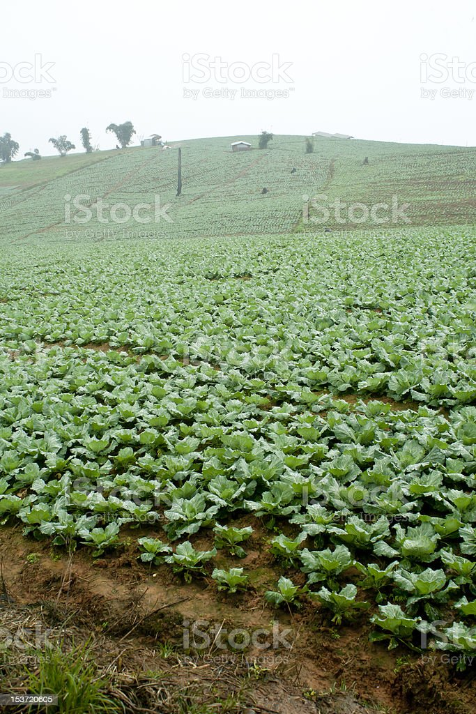 Rows of cabbage in field royalty-free stock photo