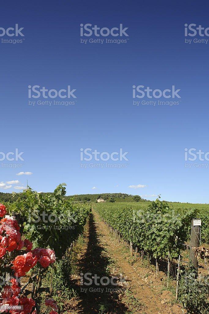 Rows of Cabernet Sauvignon stock photo
