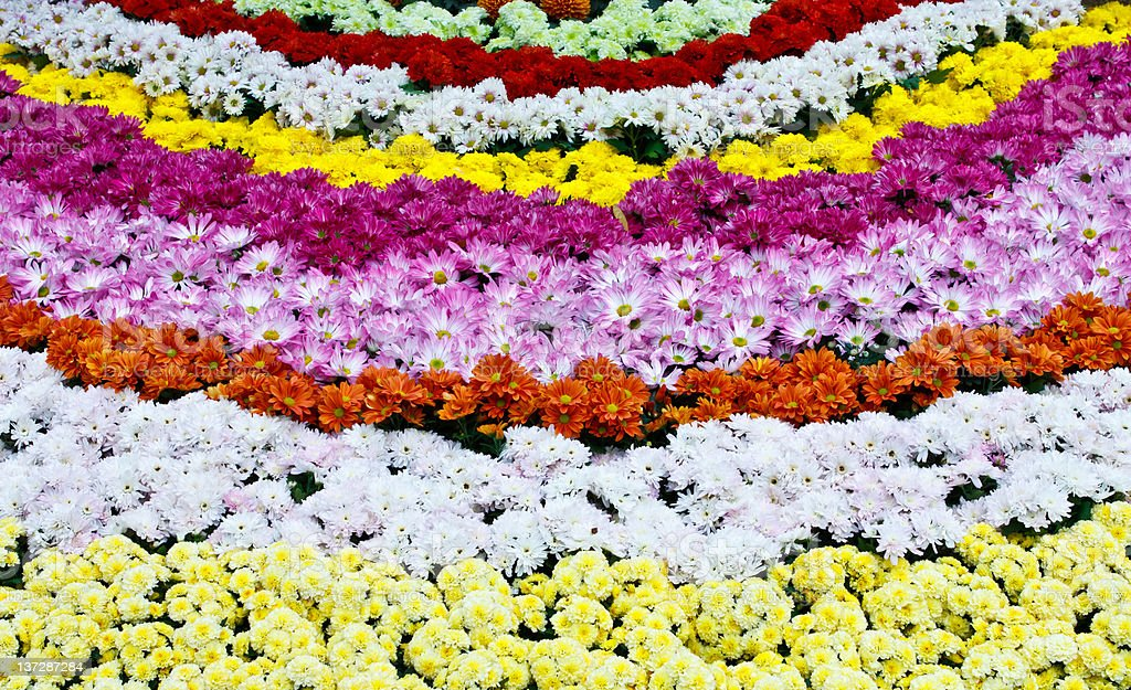 Rows of colorful flowers royalty-free stock photo