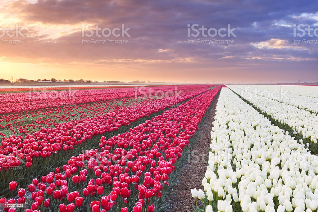 Rows of colourful tulips at sunrise in The Netherlands royalty-free stock photo