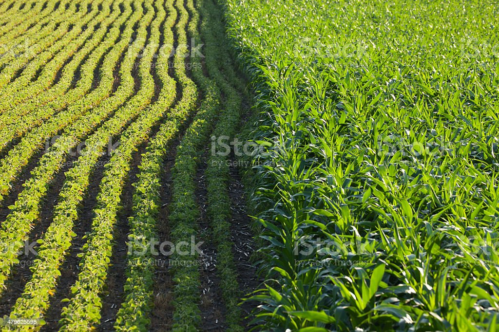 Rows of corn and soybeans in afternoon sunlight stock photo