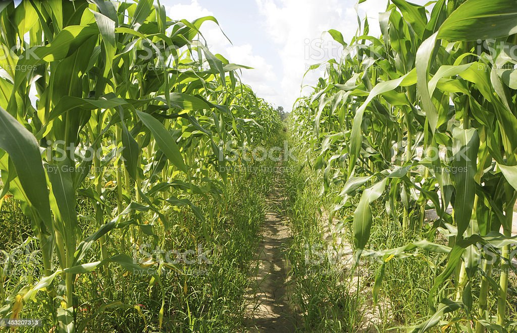Rows of Corn Growing in field royalty-free stock photo