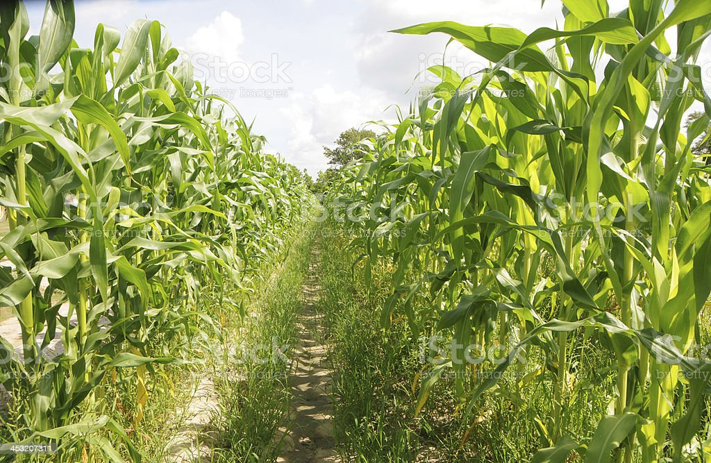 Rows of Corn in Field royalty-free stock photo