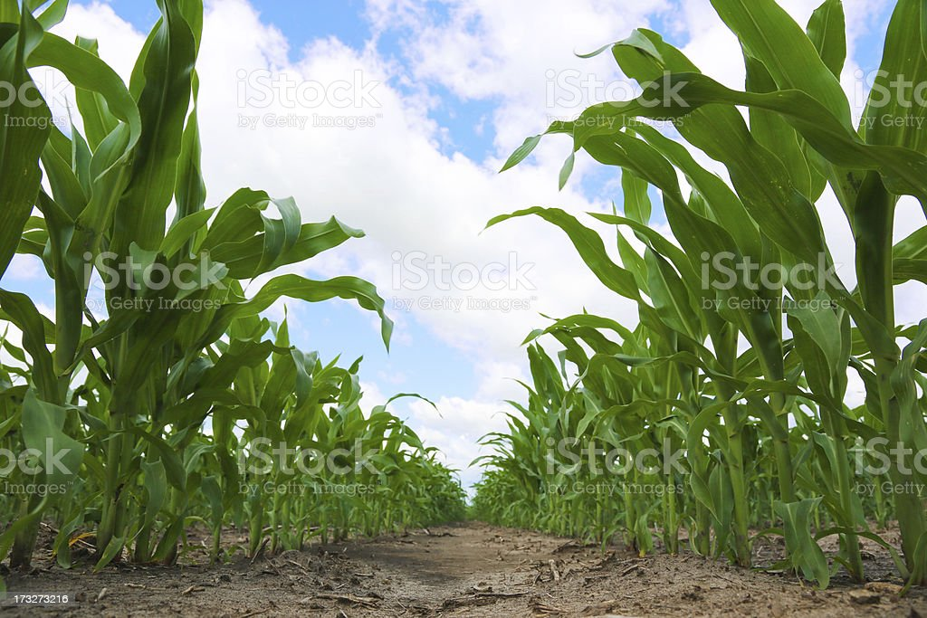 Rows of Corn on the Cob Low Angle royalty-free stock photo
