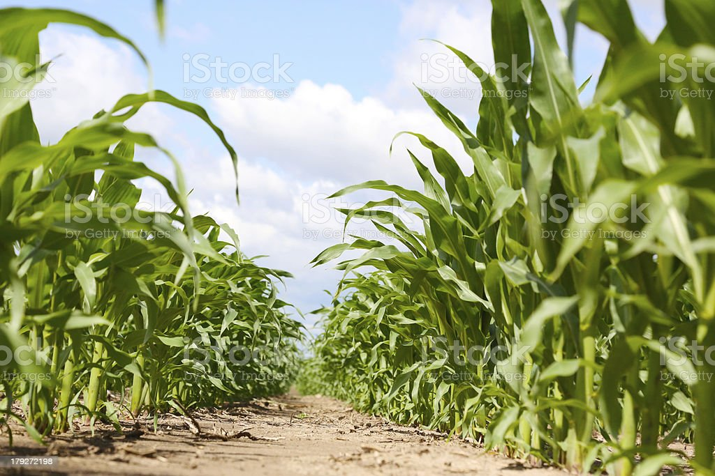 Rows of corn on the cob royalty-free stock photo