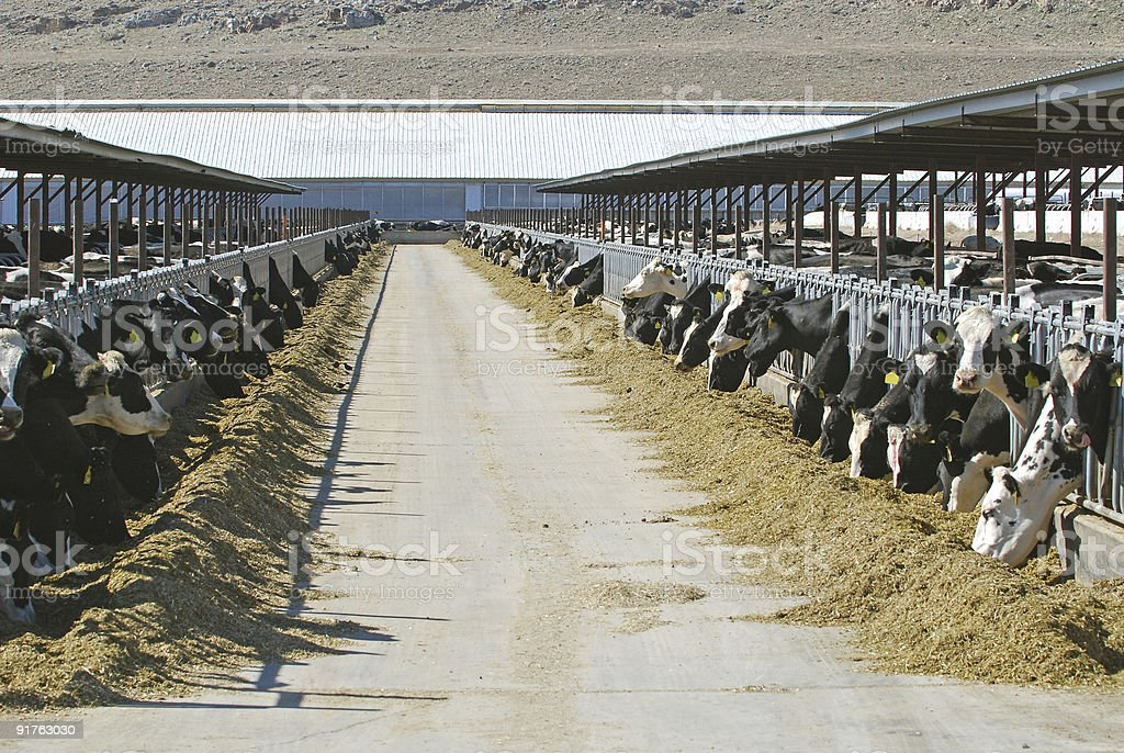 Rows of cows at large dairy farm royalty-free stock photo