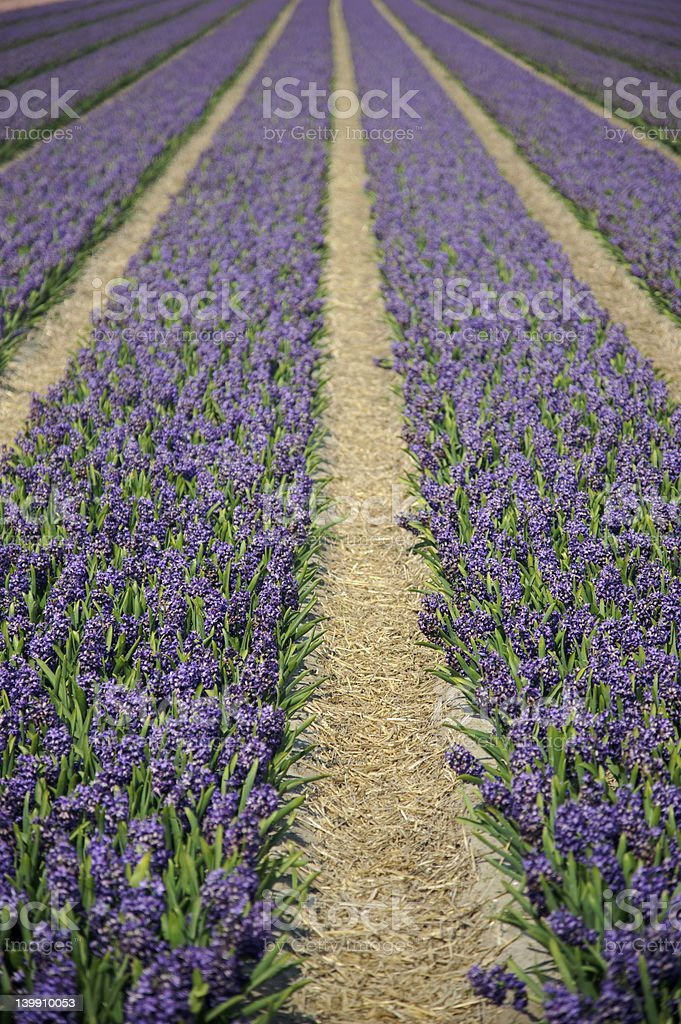 Rows of flowers royalty-free stock photo