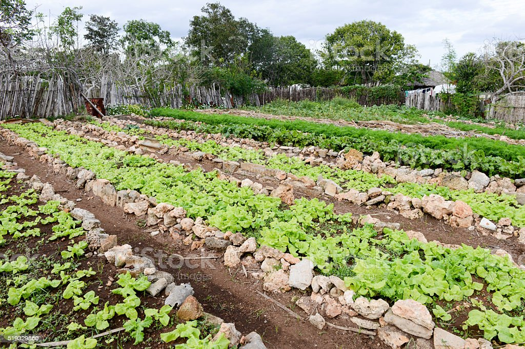 Rows of fresh lettuce plants in the countryside of Giron stock photo