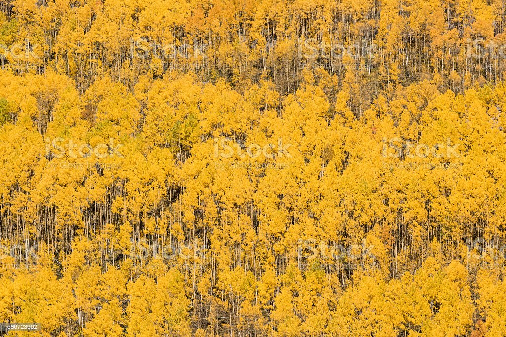 Rows of golden aspen trees in autumn stock photo