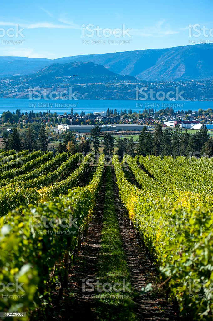 Rows of grape vines after fall harvest. stock photo