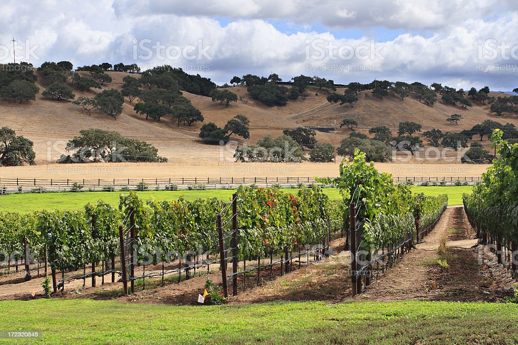 Rows of grape vines at a vineyard in the countryside stock photo