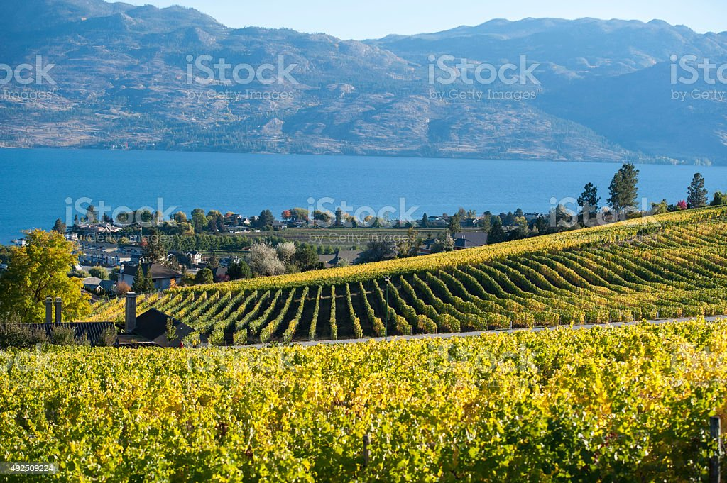 Rows of grape vines changing color after Autumn harvest. stock photo