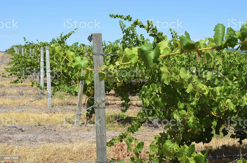 Rows of grape vines in South Australia royalty-free stock photo