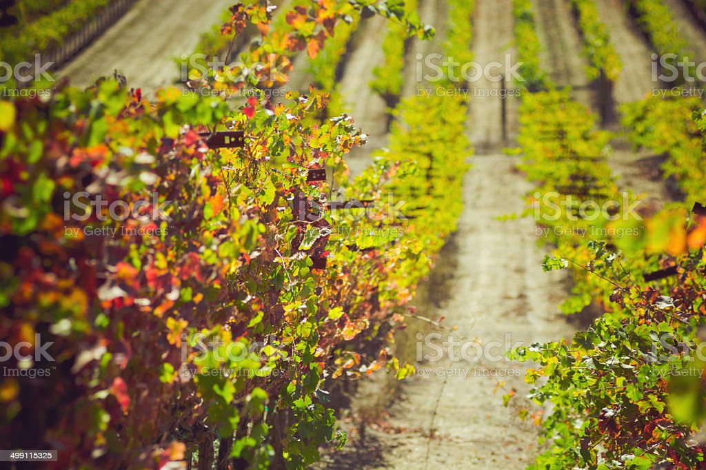 Rows of grapes at a vineyard in Sonoma County, CA royalty-free stock photo