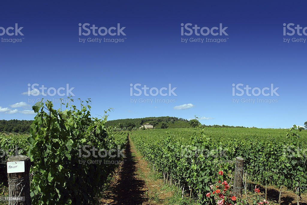 Rows of grapes producing the special Italian wine Merlot stock photo