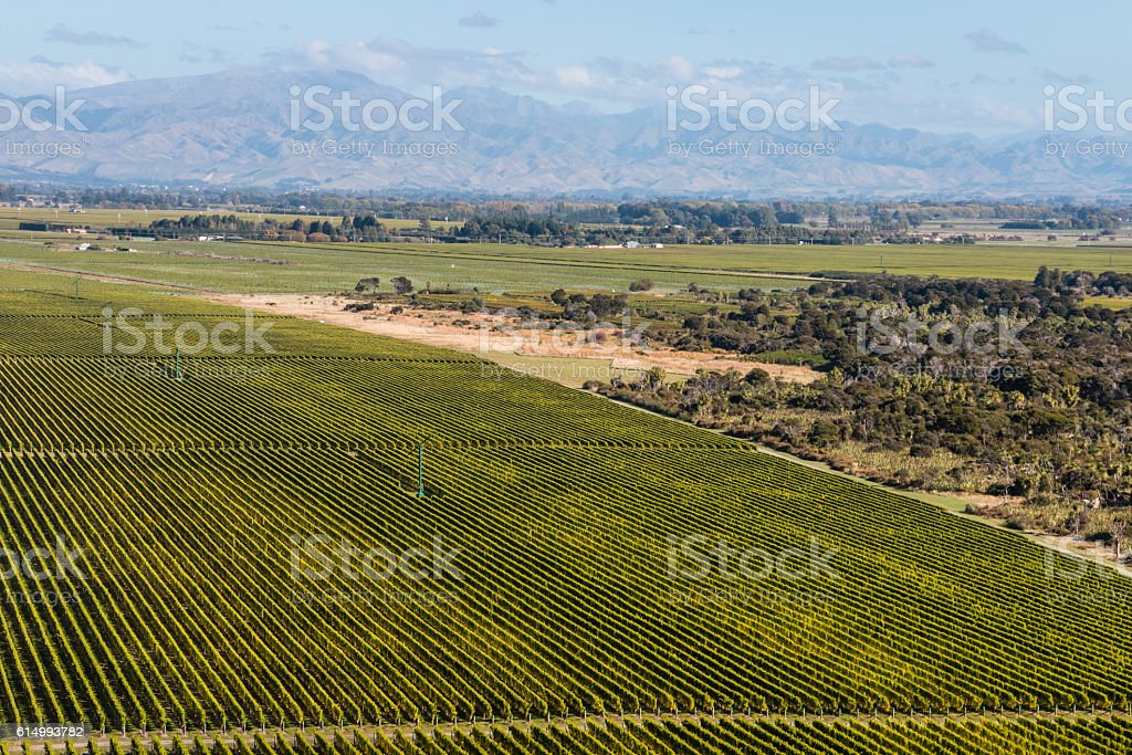 rows of grapevine in Marlborough stock photo