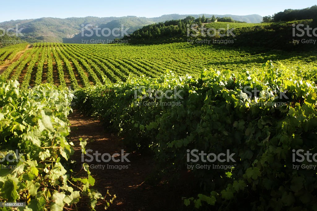Rows of grapevines curving over rolling hills of vineyard stock photo