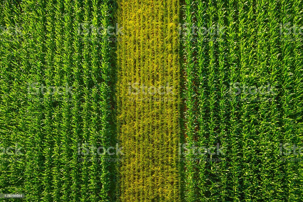 Rows of green maize corn crop agricultural background aerial view stock photo