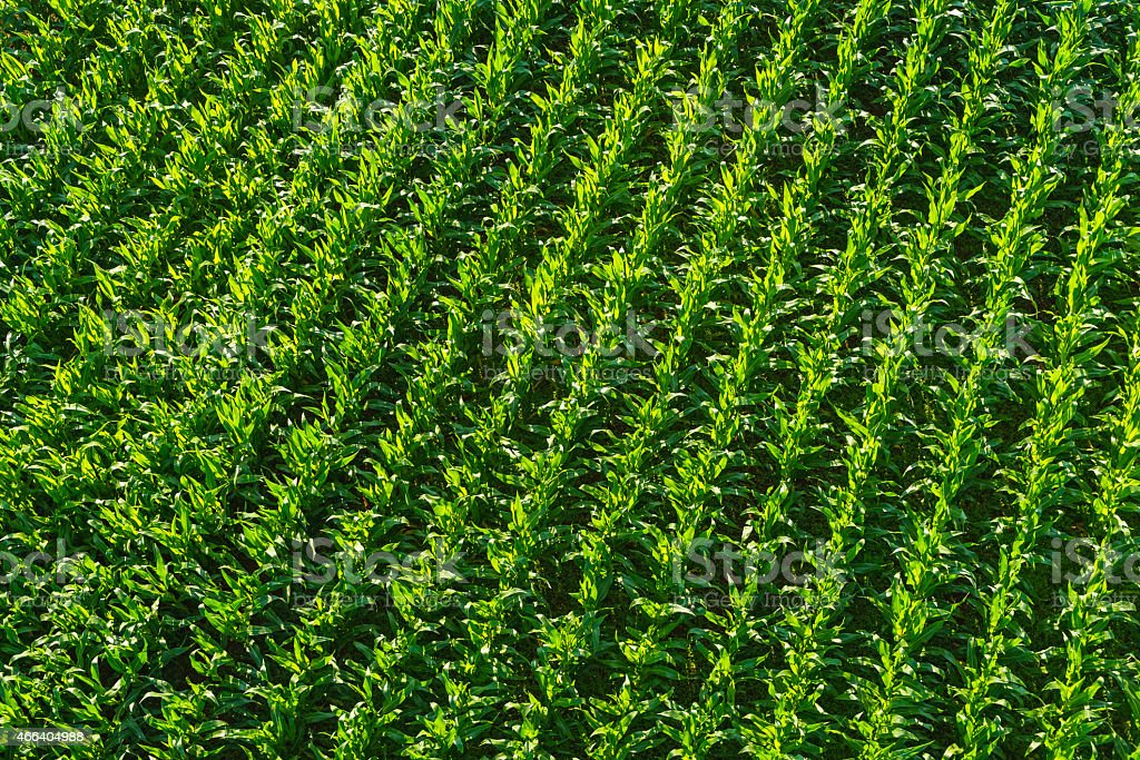 Rows of green maize corn in field agricultural aerial background stock photo