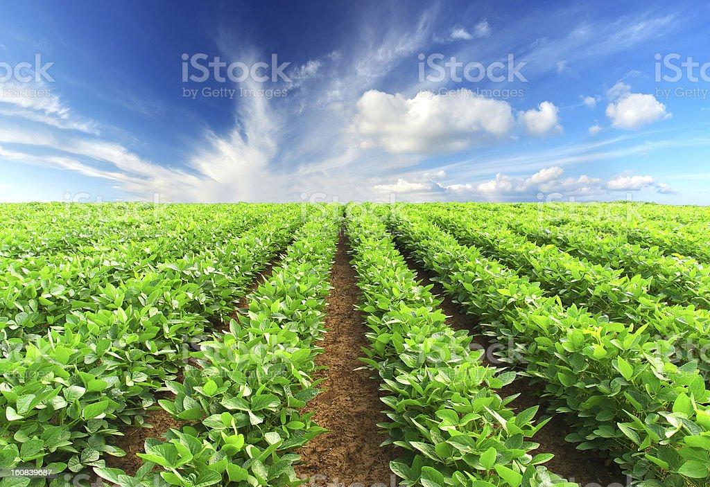 Rows of green plants on a field to the horizon stock photo