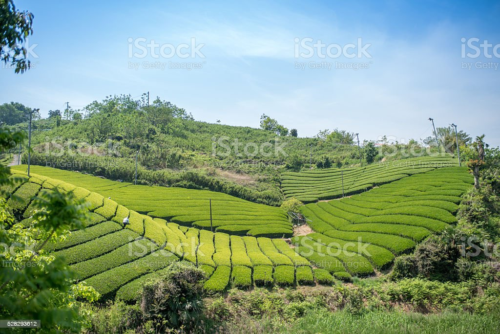Rows of green tea leaves stock photo