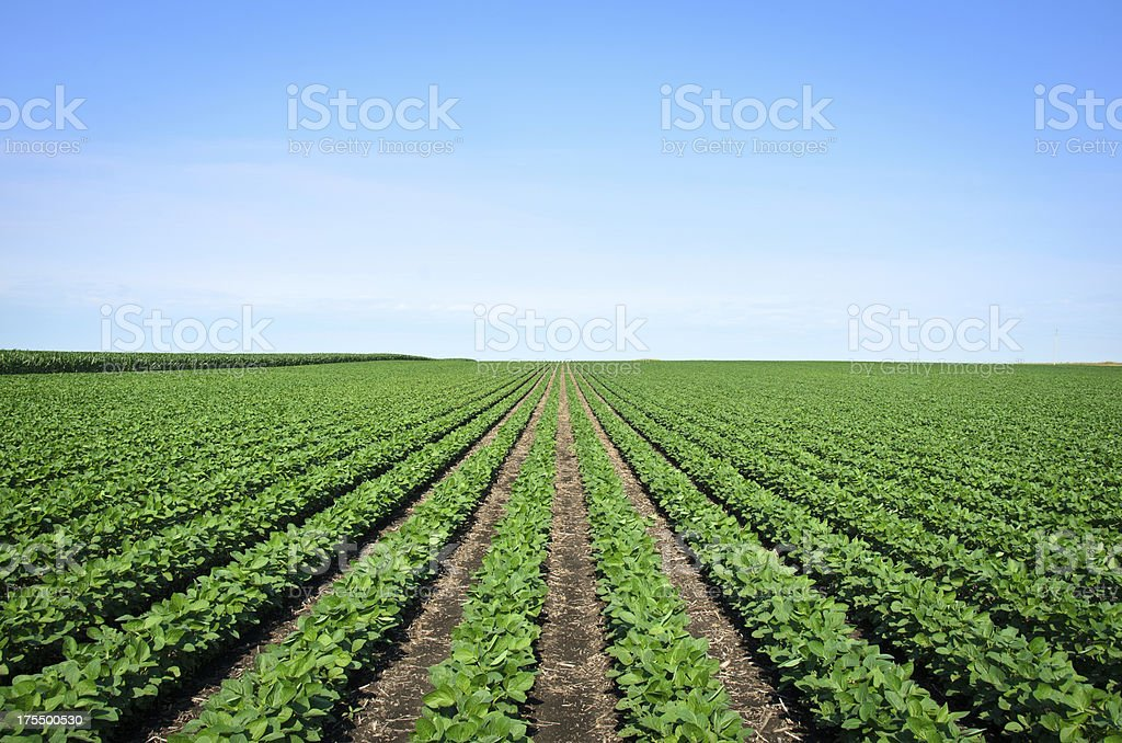 Rows of Iowa soybeans stock photo