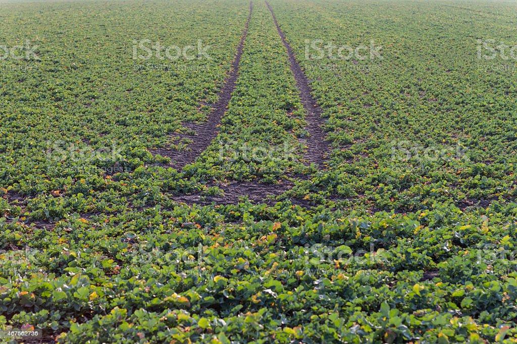 Rows of Kohlrabi plants stock photo