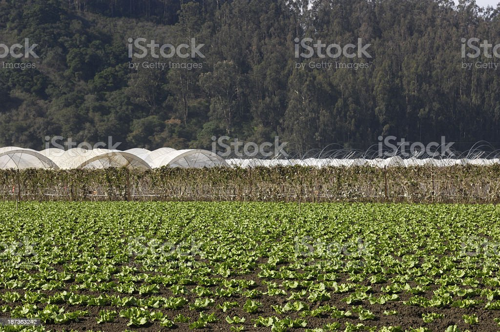Rows of Lettuce Being Grown on Coastal Farm royalty-free stock photo