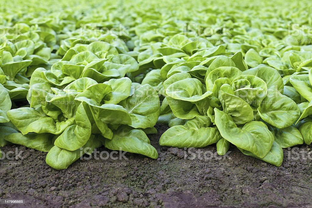 Rows of lettuce growing inside a greenhouse royalty-free stock photo