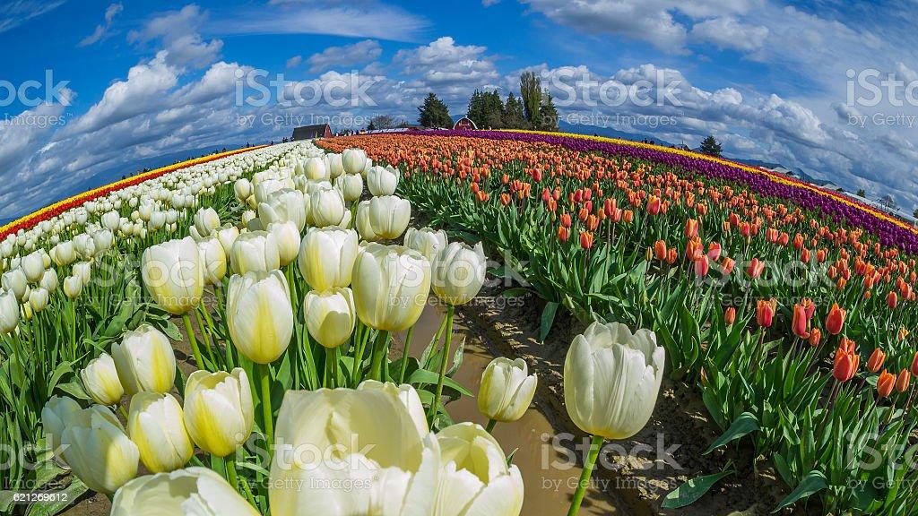 Rows of orange and white tulips. Amazing field. stock photo