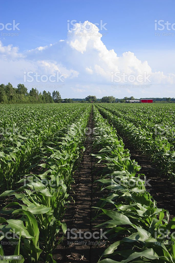 Rows of Organic Corn royalty-free stock photo