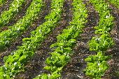 Rows of organic green lattuces